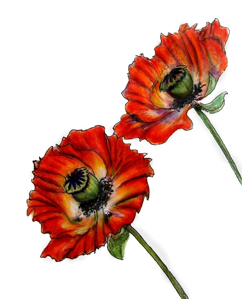 how to draw california poppy